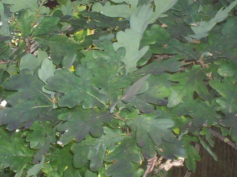 Leaf foliage - Quercus robur (oak)