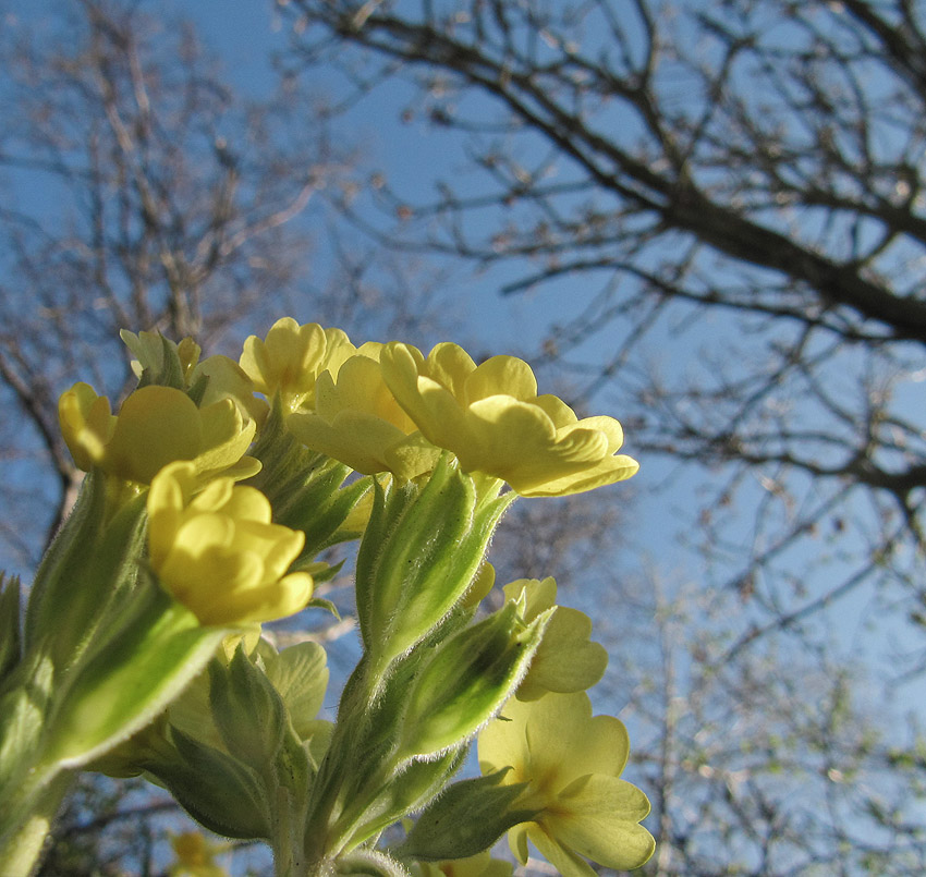 Cowslips gazing at a blue sky