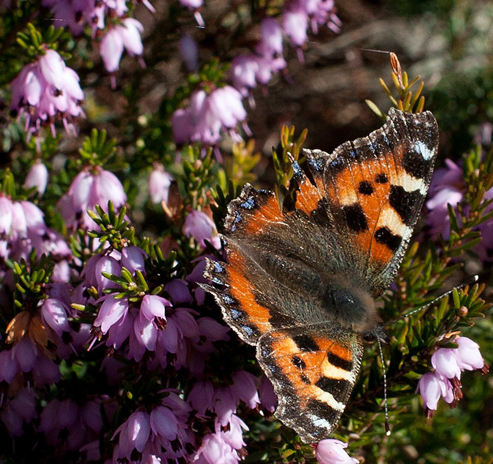 Over wintered tortoiseshell butterfly on winter flowering heather.