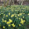 Wild daffodils by the River Esk