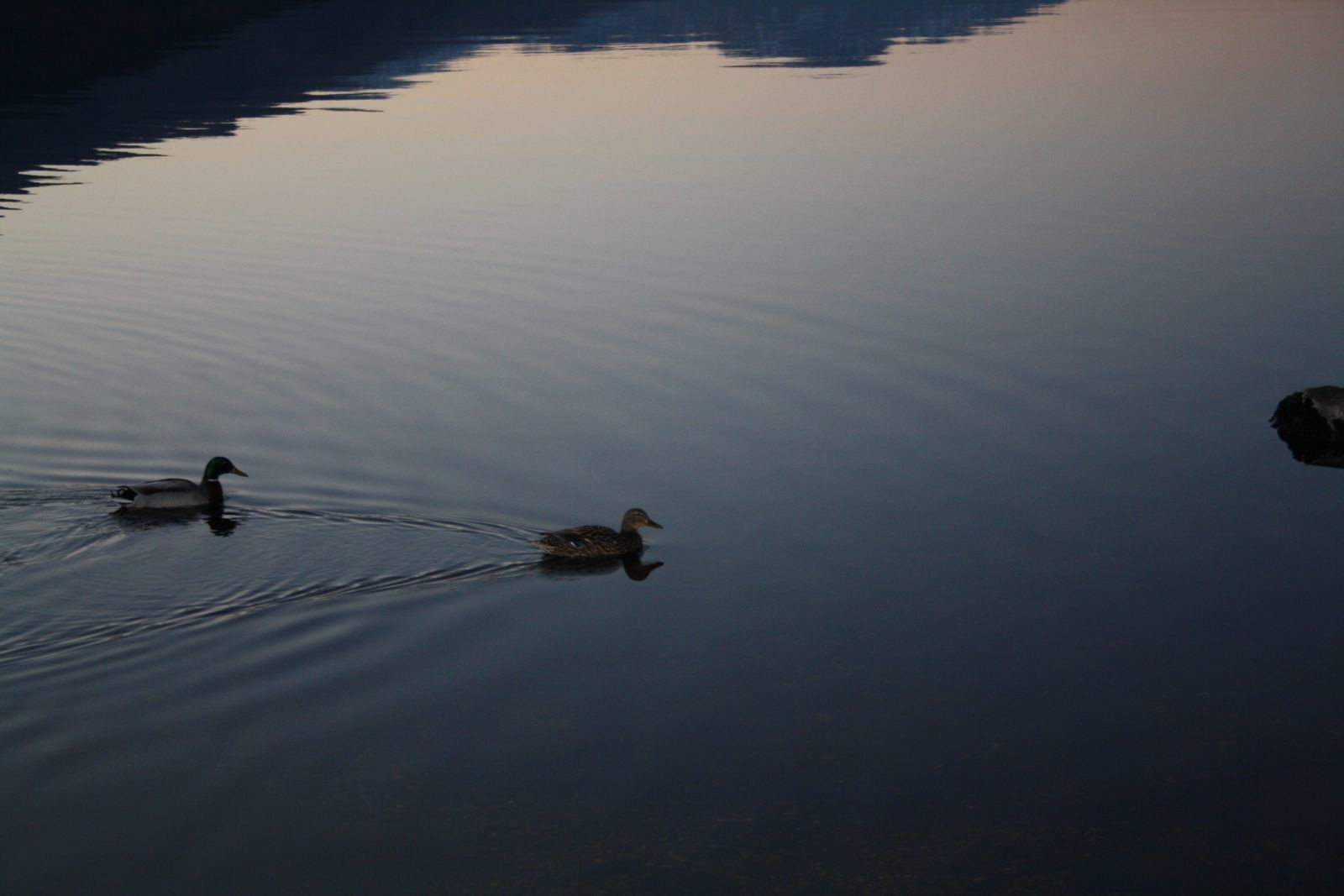 Ducks at Rowardennan