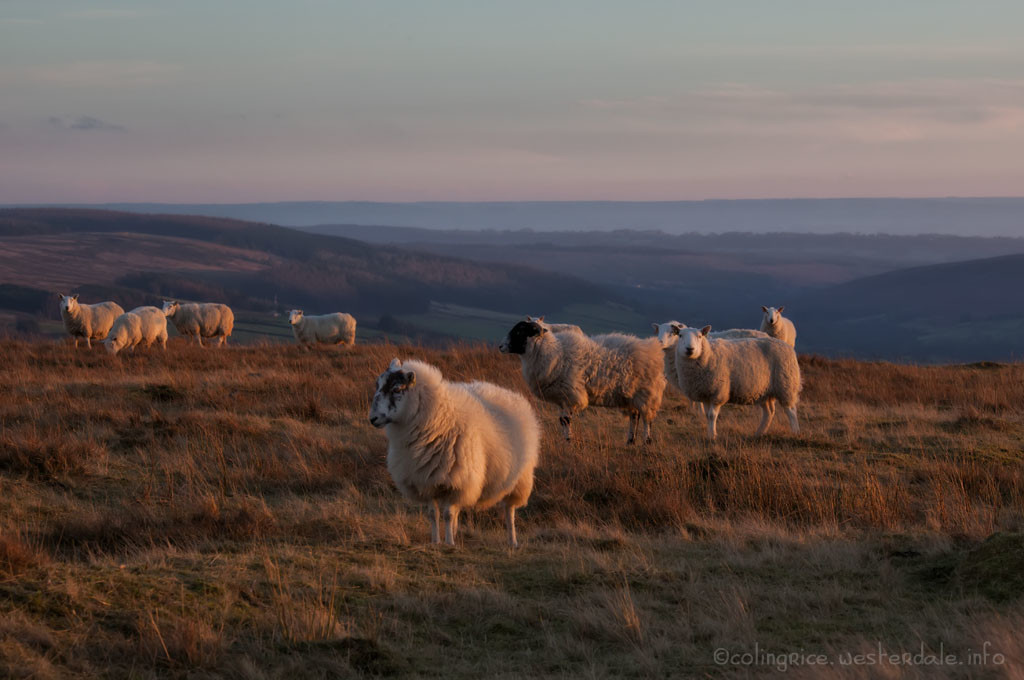 Sheep waiting for feed - Rosedale