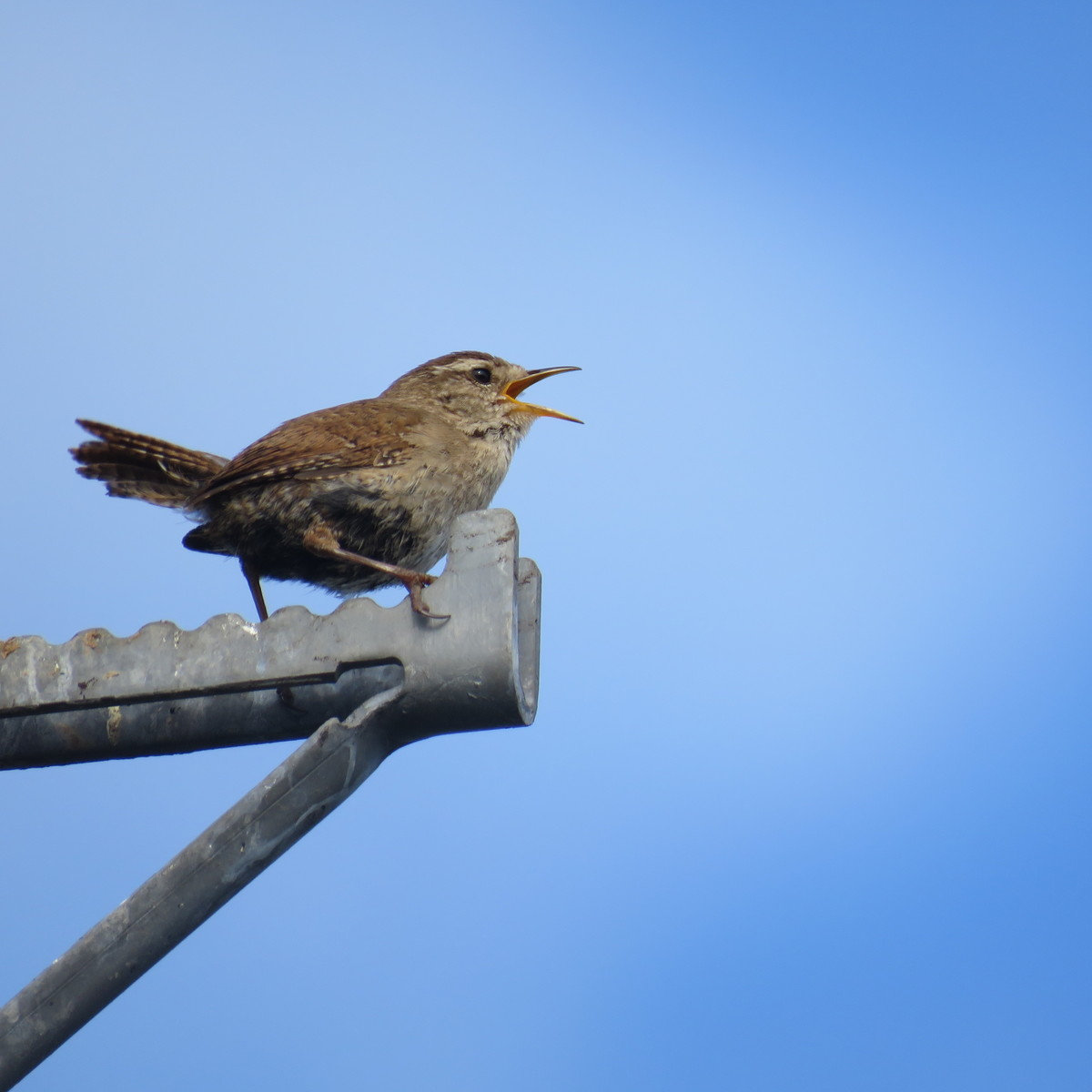 Singing wren on Chat Moss, Irlam