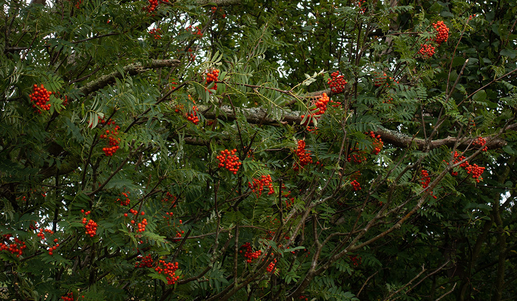 Mountain Ash berries this morning.